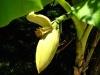 Цветок банана.