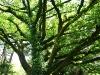 Старое раскидистое дерево.