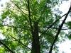 Реликтовое дерево.
