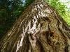 Кора старого дерева.