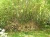 Заросли бамбука.