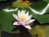 Розовая лилия.