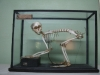 скелет макаки-резуса