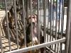 кормление грудью обезьяны